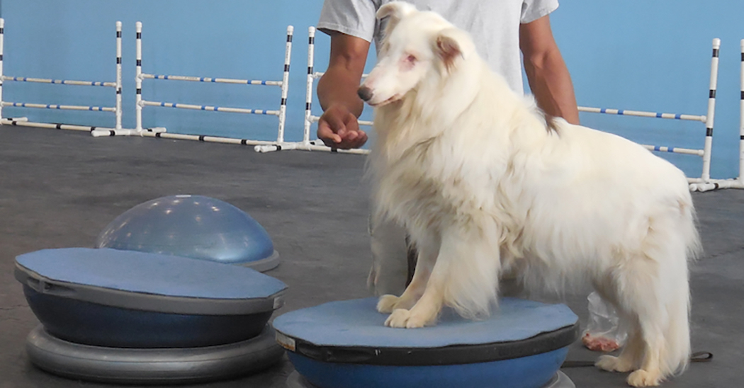 The Martial Arfs For Blind And Or Deaf Dog Training
